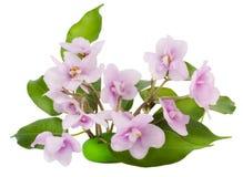 Flores cor-de-rosa delicadas das violetas Imagem de Stock