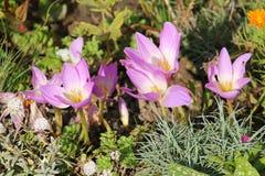 Flores cor-de-rosa do açafrão de outono ou do speciosum do Colchicum Foto de Stock