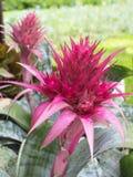 Flores cor-de-rosa do abacaxi Imagens de Stock Royalty Free