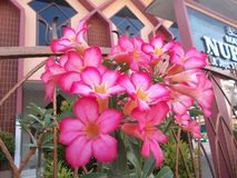 Flores cor-de-rosa do adenium da azálea Fotografia de Stock Royalty Free