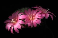 Flores cor-de-rosa do cacto fotografia de stock