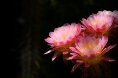 Flores cor-de-rosa do cacto da tocha Fotografia de Stock Royalty Free