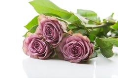 Flores cor-de-rosa do chá bonito Imagem de Stock