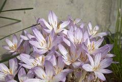 Flores cor-de-rosa do Colchicum Fotografia de Stock Royalty Free