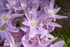 Flores cor-de-rosa do Colchicum Fotos de Stock