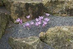 Flores cor-de-rosa do Colchicum Fotografia de Stock