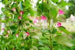 Flores cor-de-rosa do convólvulo da trepadeira, foco seletivo Fotos de Stock Royalty Free