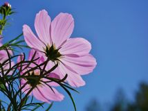 Flores cor-de-rosa do cosmos Fotos de Stock