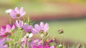 Flores cor-de-rosa do cosmos e o vento video estoque
