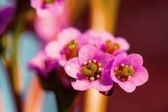 Flores cor-de-rosa do crassifolia do Bergenia, fim acima imagens de stock royalty free