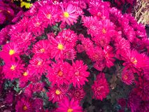 Flores cor-de-rosa do crisântemo Fotografia de Stock