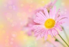 Flores cor-de-rosa do crisântemo Fotos de Stock Royalty Free