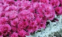 Flores cor-de-rosa do crisântemo Imagem de Stock Royalty Free