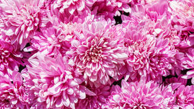 Flores cor-de-rosa do crisântemo Imagem de Stock Royalty Free