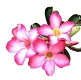 Flores cor-de-rosa do deserto imagens de stock