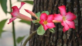 Flores cor-de-rosa do deserto cor-de-rosa vídeos de arquivo