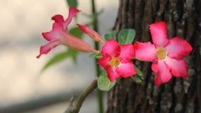 Flores cor-de-rosa do deserto cor-de-rosa filme