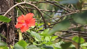 Flores cor-de-rosa do deserto cor-de-rosa video estoque
