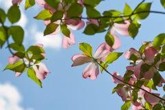 Flores cor-de-rosa do dogwood Imagem de Stock Royalty Free