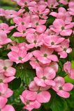 Flores cor-de-rosa do dogwood do kousa Fotografia de Stock