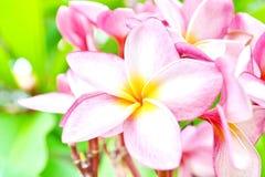 Flores cor-de-rosa do Frangipani Foto de Stock