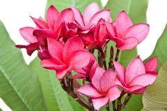 Flores cor-de-rosa do Frangipani Fotografia de Stock