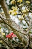 Flores cor-de-rosa do Frangipani/Plumeria/Templetree Fotos de Stock