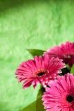 Flores cor-de-rosa do gerber Foto de Stock Royalty Free