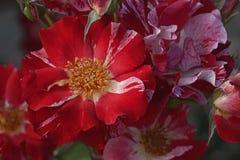 Flores cor-de-rosa do híbrido Foto de Stock Royalty Free