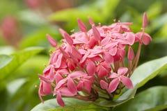 flores cor-de-rosa do ixora Imagem de Stock Royalty Free