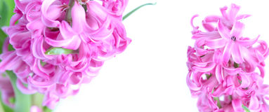 Flores cor-de-rosa do jacinto Imagem de Stock