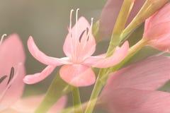 Flores cor-de-rosa do Kaffir-lírio Imagens de Stock Royalty Free