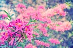 Flores cor-de-rosa do lírio fotografia de stock royalty free