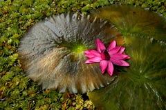 Flores cor-de-rosa do lírio Fotos de Stock