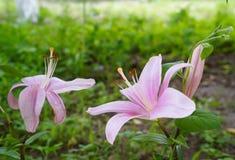 Flores cor-de-rosa do lírio em um jardim Fotos de Stock Royalty Free