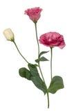 Flores cor-de-rosa do lisianthus Foto de Stock