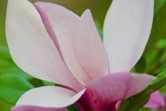 Flores cor-de-rosa do magnolia Imagem de Stock