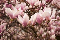 Flores cor-de-rosa do Magnolia imagens de stock