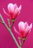Flores cor-de-rosa do magnolia fotos de stock