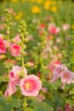 Flores cor-de-rosa Foto de Stock