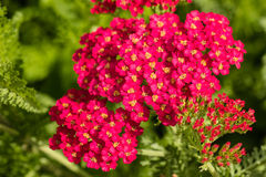 Flores cor-de-rosa do milefolium de Achillea Fotos de Stock