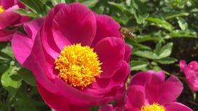 Flores cor-de-rosa do peony filme