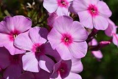 Flores cor-de-rosa do phlox fotografia de stock