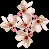 Flores cor-de-rosa do ramo da magnólia, fim acima, arranjo floral, isolado Fotografia de Stock Royalty Free