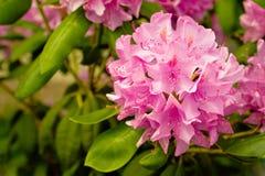 Flores cor-de-rosa do rhododendron Fotografia de Stock