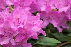 Flores cor-de-rosa do rododendro na flor Fotografia de Stock Royalty Free