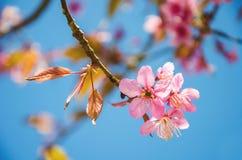 Flores cor-de-rosa do sukura da flor Fotografia de Stock Royalty Free