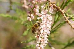 Flores cor-de-rosa do tamarix com abelha Fotografia de Stock