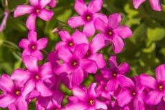 Flores cor-de-rosa do trevo Fotografia de Stock