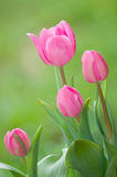 Flores cor-de-rosa do tulip Fotografia de Stock